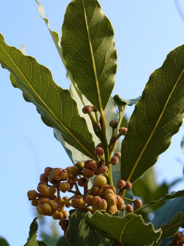 Почему сохнут листья у лаврового дерева