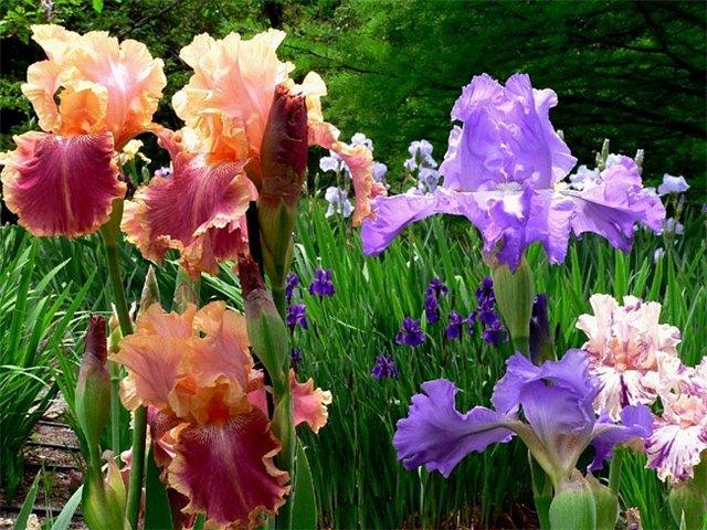 Почему не цветут фиалки - 924