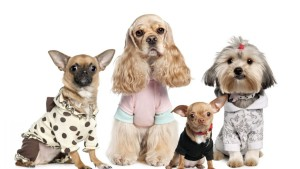 dogs_variety_yorkshire_terrier_chihuahua_costumes_56005_1280x720-1174x660