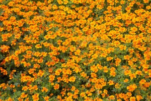 depositphotos_98500694-stock-photo-tagetes-in-spring