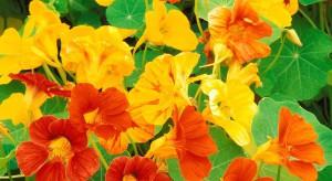nasturtium flowers-779766