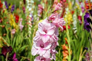 virág kardvirág2 jogt