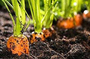 nuzhno-li-prorastit-semena-morkovi-pered-posadkoj-kak-eto-sdelat-bistro